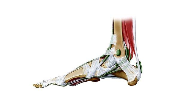 Sehnen und Bänder im menschlichen Körper | medi
