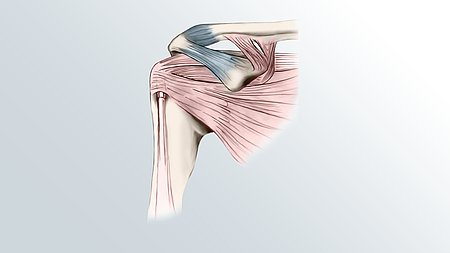 Our shoulder: a complex joint