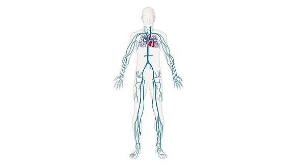 Venensystem - Venensystem des Menschen