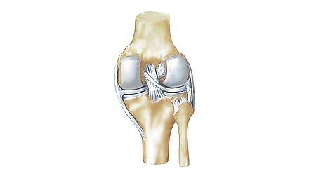 Anatomie des Kniegelenks - Anatomie des Kniegelenks