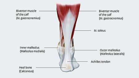 Anatomy of the Achilles tendon