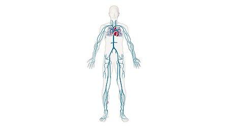 The venous system - The venous system