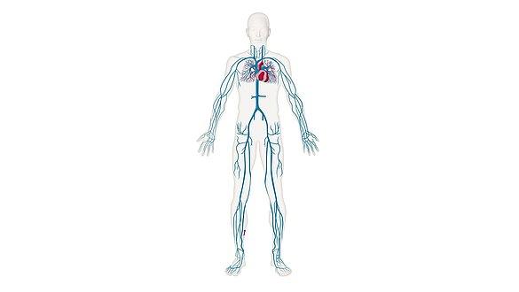 Cardiovascular system - Cardiovascular system