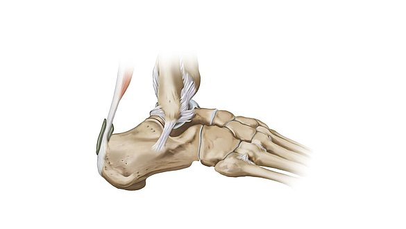 Ankle Joint Complex Anatomy Keeps Us On The Move