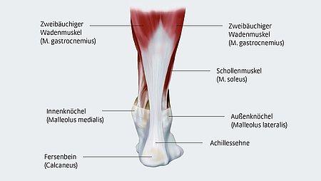 Anatomie der Achillessehne - Anatomie der Achillessehne